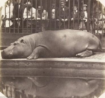 hippo-1852